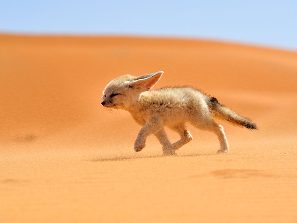 Fennec Fox - cute baby animals