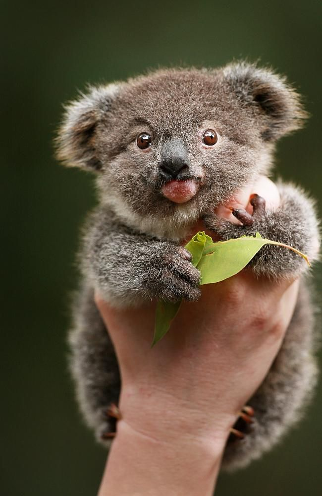 Koala - cute baby animals