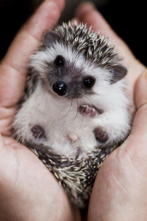 Hedgehog - cute baby animals