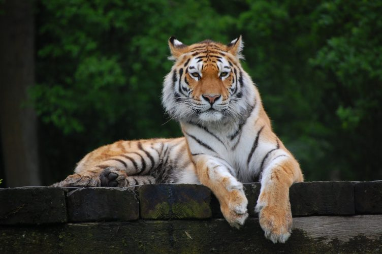Royal Bengal Tigers of Ranthambore in India - Must Visits Places