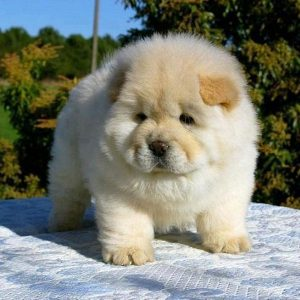 Chow Chow Puppy - dogs look like teddy bears