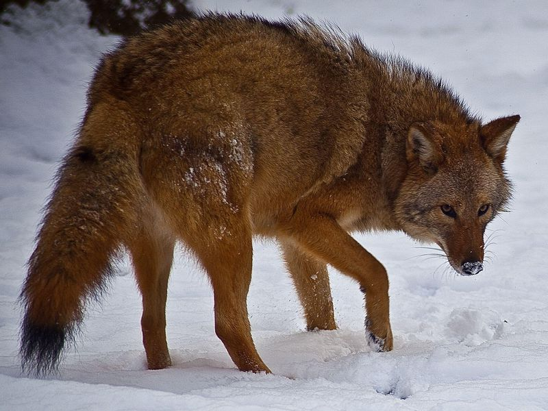 Coywolf - Hybrid animals