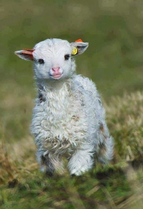 Sheep - cute baby animals