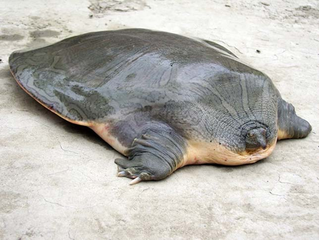 Cantor's Giant Soft Shell Turtle-Strange Animals