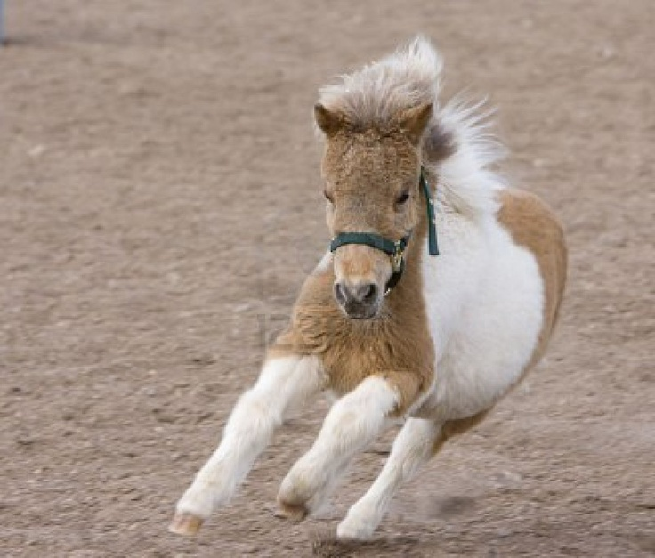 Miniature Horse - cute baby animals