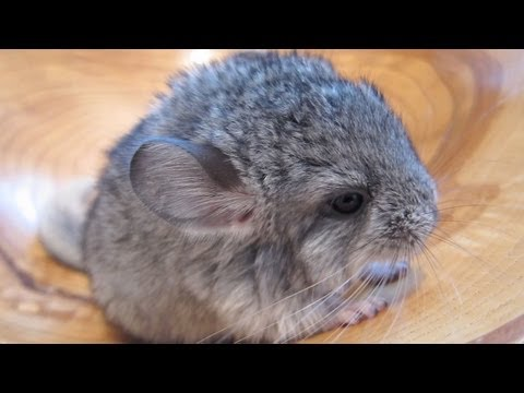 ChinChilla - cute baby animals
