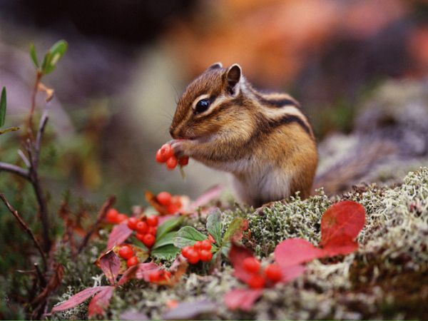 Chipmunk - cute baby animals