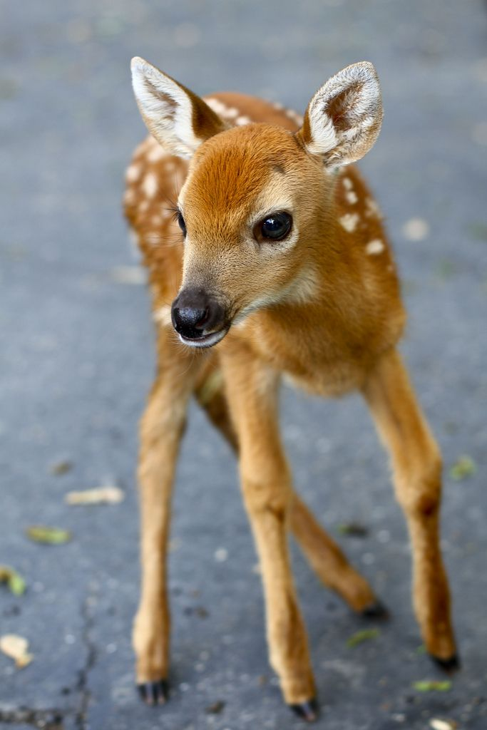 Deer - cute baby animals
