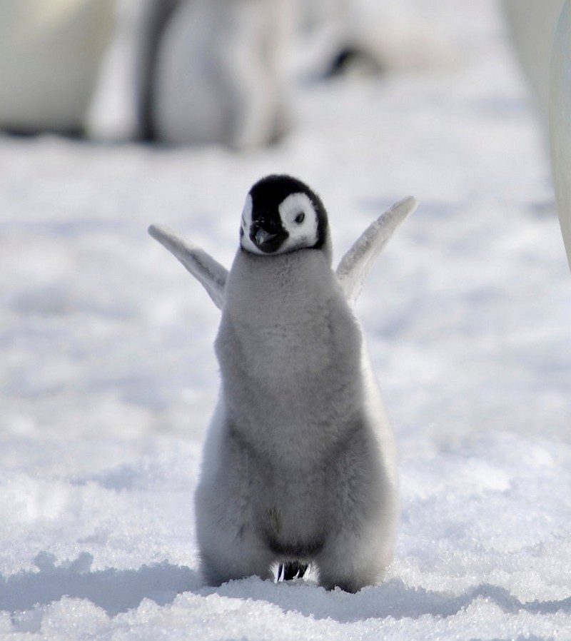 Penguins - cute baby animals