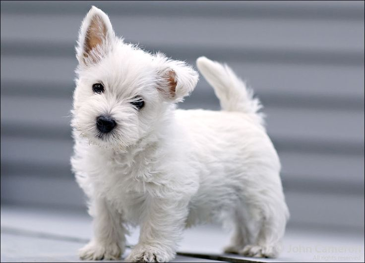 Westie Puppy - dogs look like teddy bears