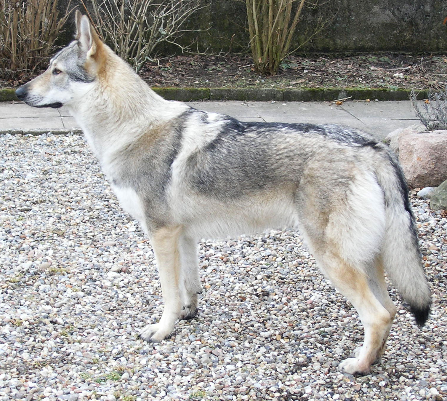 Wolfdog - Hybrid animals
