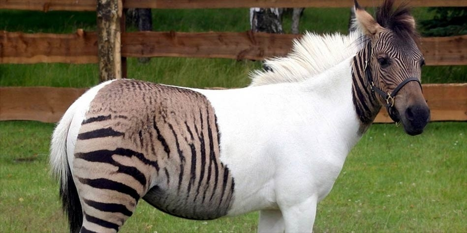 Zebroid- Hybrid animals