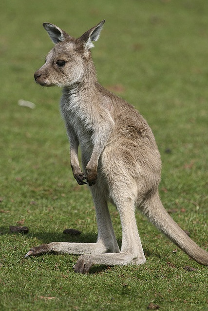 Kangaroo - cute baby animals