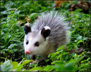 Opossum - cute baby animals
