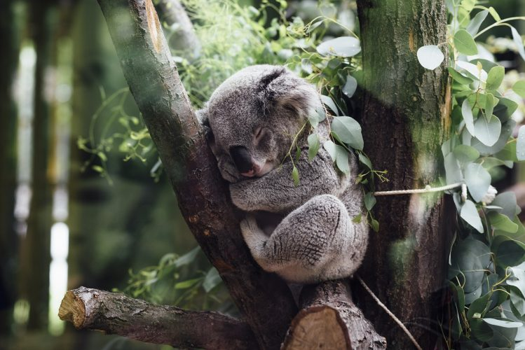 Koala Bear - slowest animals