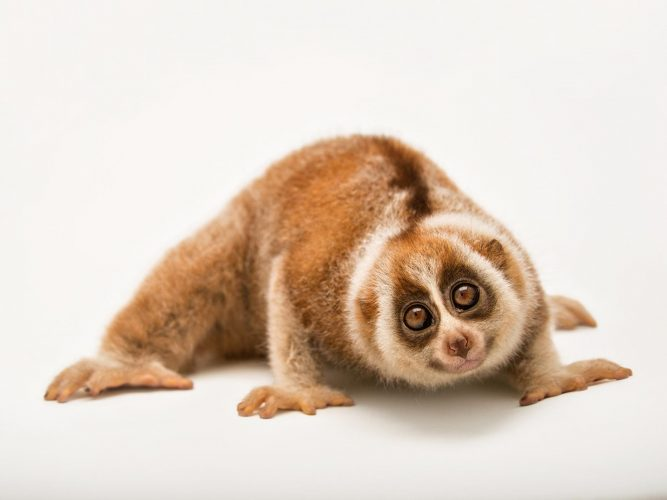 Loris - slowest animals
