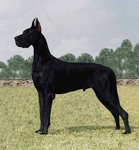 The Great Dane - Dog Breeds